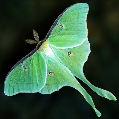 WP1.luna-moth