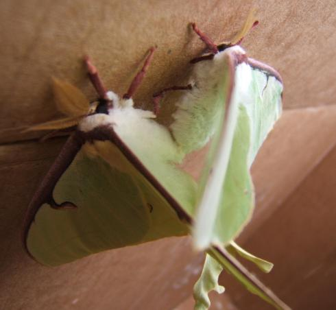 WP2.Luna Moth Mating